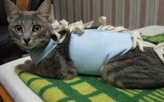 Когда можно стерилизовать кошку