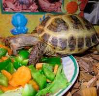 Что едят черепахи