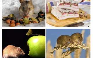 Что любят мыши