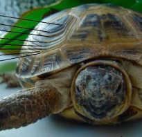 Как определить возраст черепахи сухопутной