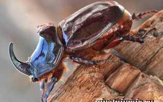 Чем питается жук носорог в домашних условиях