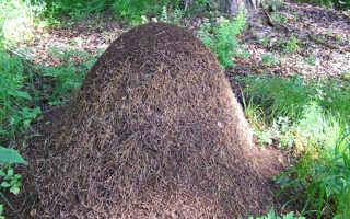 Чем питаются садовые муравьи