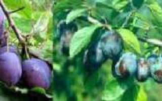 Почему слива сбрасывает зеленые плоды