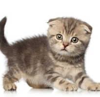 Сколько стоит шотландская кошка