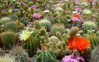 Можно ли кактус вырастить из семян