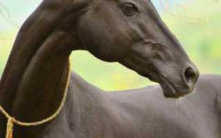 Как выглядит ахалтекинская лошадь