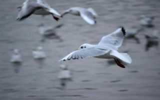 В чем заключается механизм двойного дыхания птиц