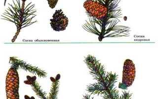 В чем отличие голосеменных растений от папоротников