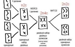 Какой набор хромосом содержится в соматических клетках