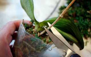 Надо ли после цветения орхидеи обрезать стебель