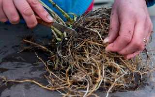 Когда пересаживать флоксы весной или осенью