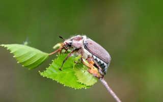 Кто такой майский жук