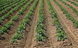 Почему урожайность картофеля возрастает после окучивания