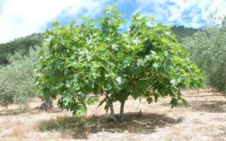 Что растет на фиговом дереве